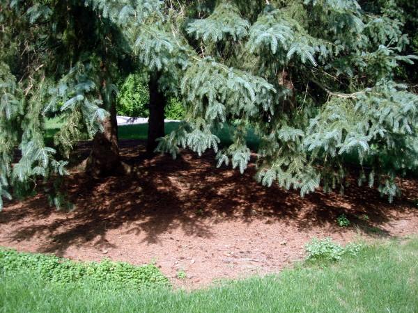 Large Pine Tree Play Area